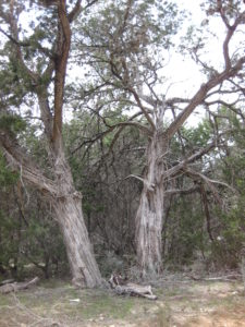 Two Very Large Ashe Juniper Trees