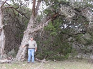 Very Large Ashe Juniper Tree with person standing adjacent to trunk.